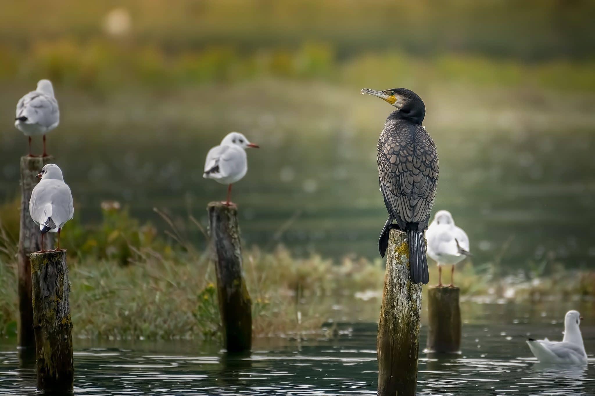 Grand cormoran et mouettes rieuses